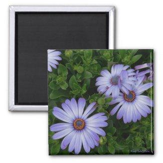 Purple/Blue-Daisy-Magnet magnet