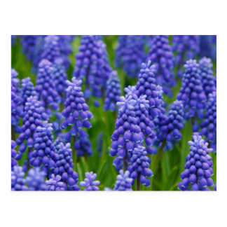 PURPLE BLUE GRAPE FLOWERS NATURE GRASS BEAUTY SCEN POSTCARD
