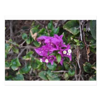 Purple Bougainvillea Photo Postcard