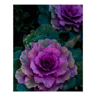 Purple Cabbages, grow like flowers Poster