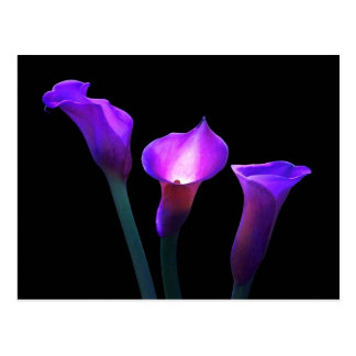 purple calla lily postcard