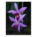 Purple Cattleya orchid Postcards