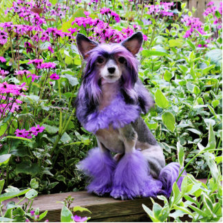 Purple Chinese Crested Dog in Pink Flowers Cutout