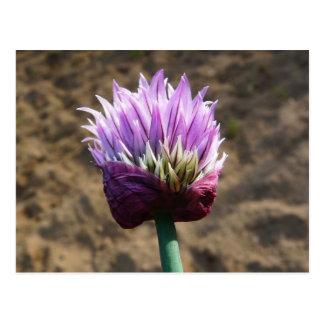 Purple Chive Flower in Bloom Postcard