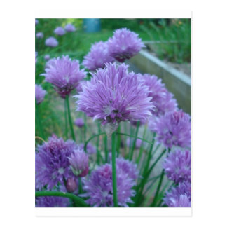 Purple chive flowers postcard