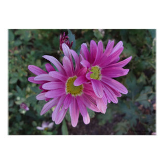 PURPLE CHRYSANTHEMUMS POSTER