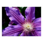 Purple Clematis Black edge Posters