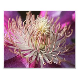 Purple Clematis Closeup Photographic Print