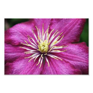 Purple Clematis flower in bloom during Spring Photo Print