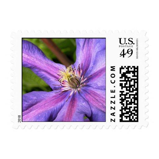 Purple Clematis Postage Stamp