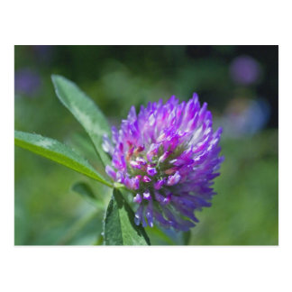 Purple Clover Postcard
