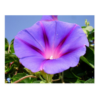Purple Colored Morning Glory Flower Postcard