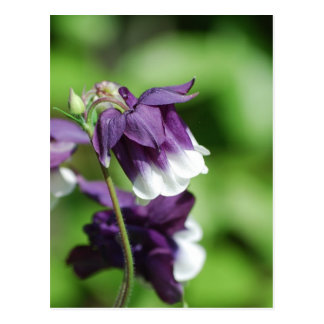 Purple Columbine Postcard
