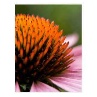 Purple Coneflower | Sonnenhut Postcard