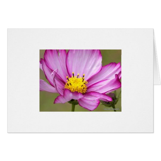 Purple Cosmos Card