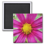 Purple Cosmos Flower 2 Inch Square Magnet