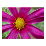 Purple Cosmos Flower Beautiful Wildflower Poster