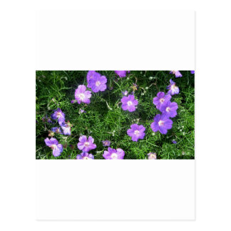 Purple Cosmos Postcards