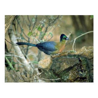 Purple Crested Lourie Postcard