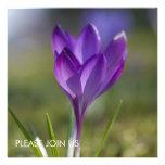 Purple Crocus DSC0704 Announcement