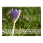 Purple Crocus DSC5082 Postcards