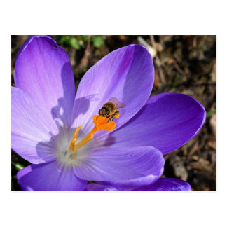 Purple crocus flower and a bee postcard
