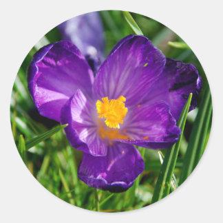 Purple crocus flower classic round sticker