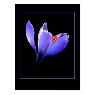 Purple CROCUS flower Postcard