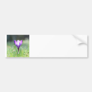 Purple Crocus in spring Bumper Sticker