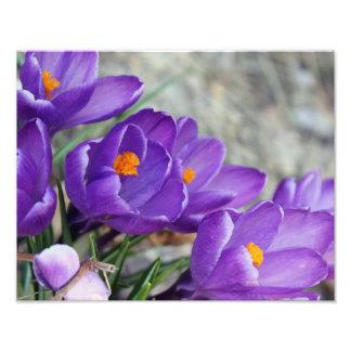 Purple Crocus Photo Print