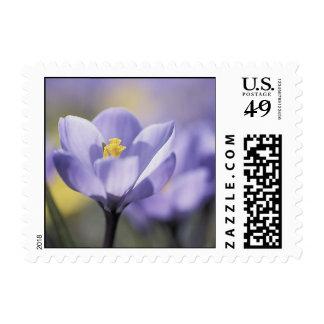 Purple Crocus postage stamps