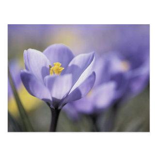 Purple Crocus postcards
