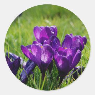 Purple crocuses classic round sticker
