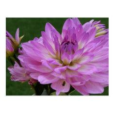Purple Dahlia Floral Photography Postcards
