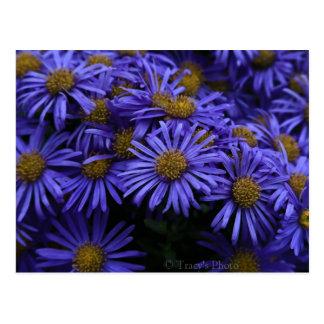 Purple Daisies Postcard