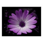 Purple Daisy Flower Print