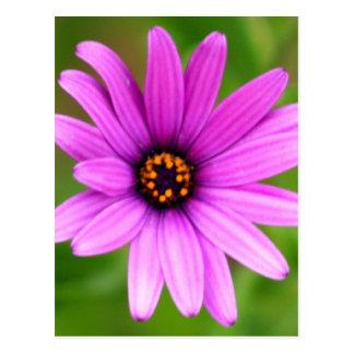 Purple Daisy Postcard