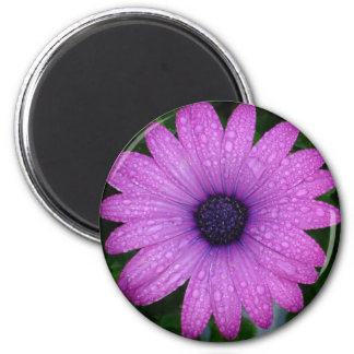 Purple Daisy with Raindrops Magnet