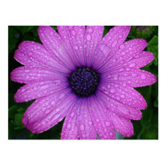 Purple Daisy with Raindrops Post Cards