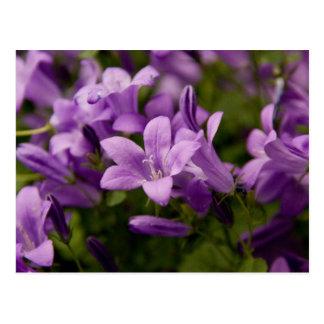 Purple Dalmatian Bellflowers Post Card