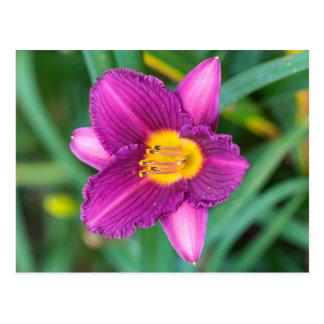 Purple Daylily Postcard