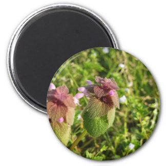Purple Dead-nettle ( Lamium purpureum ) on green Magnet