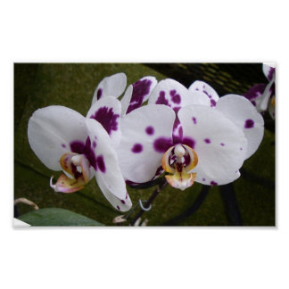 Purple Dotted White Orchid Picture Poster