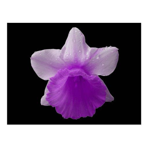 Purple Dripping Daffodil Postcard