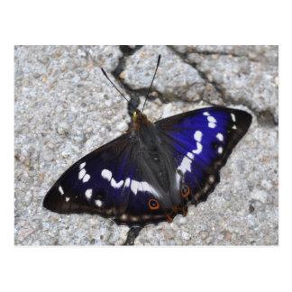 Purple Emperor butterfly postcard