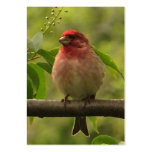 Purple Finch ATC Large Business Cards (Pack Of 100)