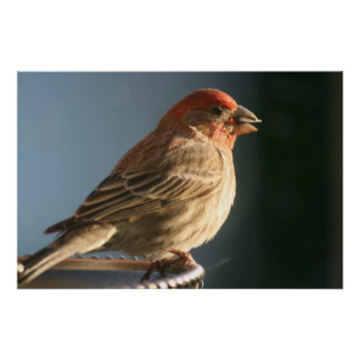 Purple Finch Bird Photo Print