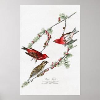 Purple Finch John James Audubon Birds of America Poster
