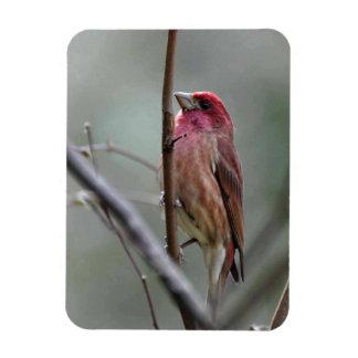 Purple Finch Magnet