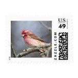 Purple Finch Postage Stamps